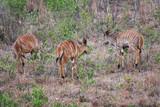 des koudous en Afrique du Sud
