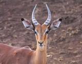 portrait d'un impala