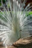 Leucistic Indian peacock, Pavo cristatus, beautiful white bird with open tail